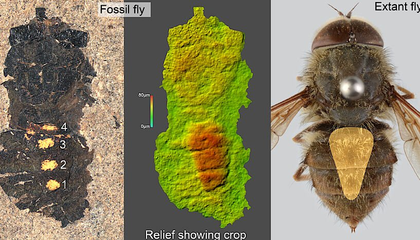 47 million year old fly found with a full belly