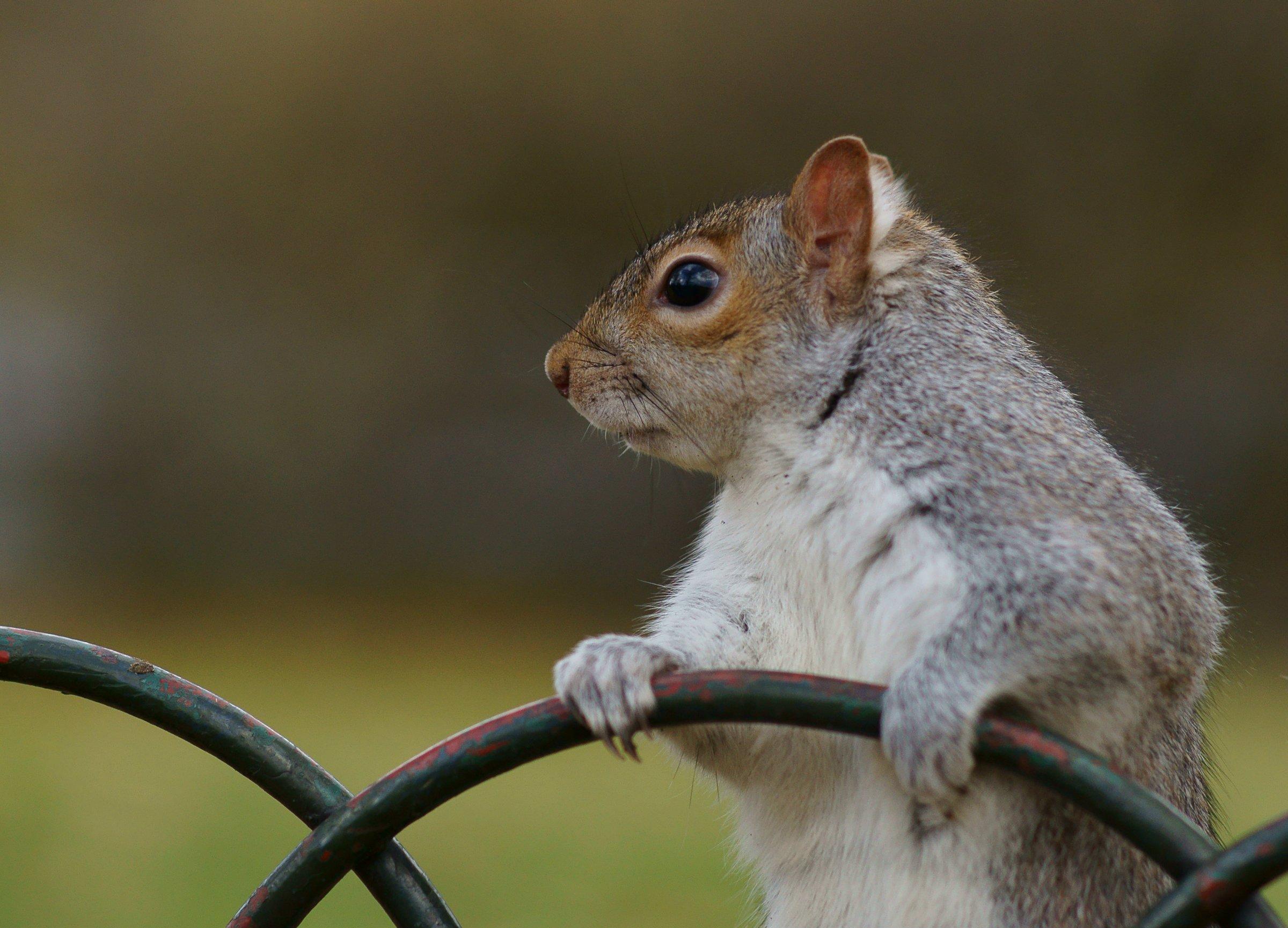SquirrelBIBody