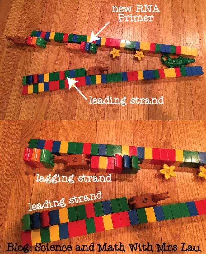 leading-lagging-strand