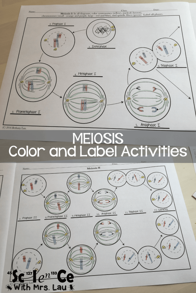 meiosis color and label-01