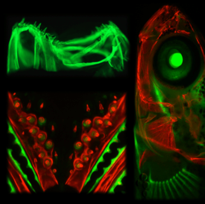 fluorescent microscopy of stickleback teeth