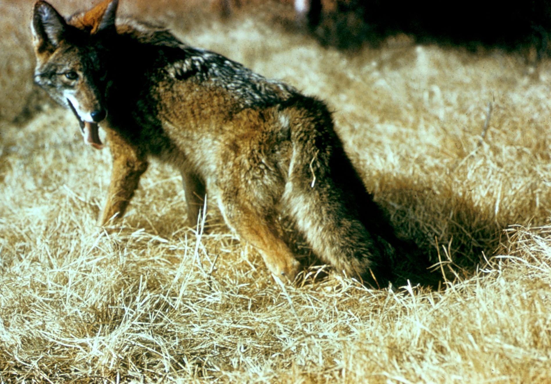 Coyote Control They Re Flocking To The Suburbs