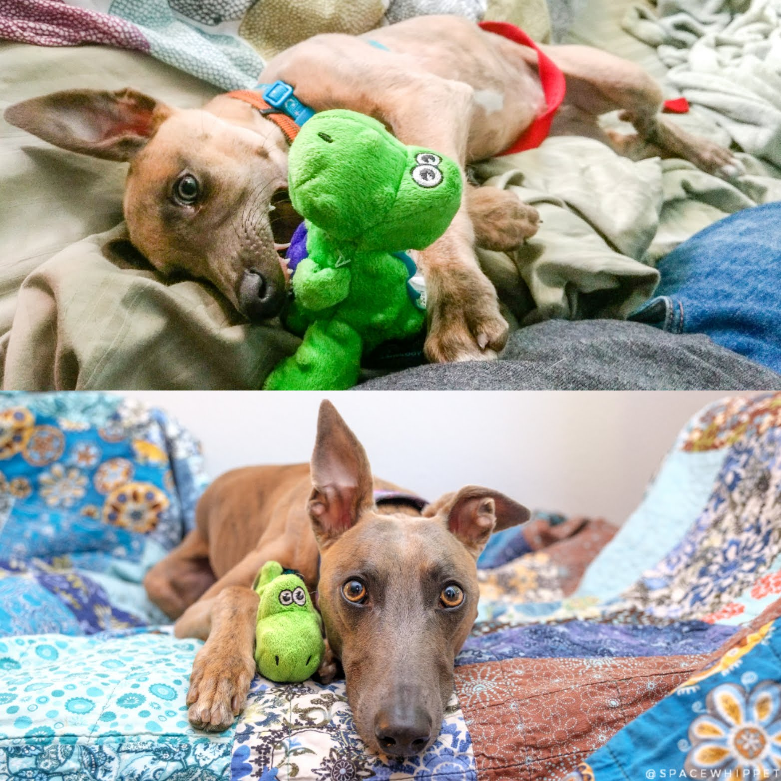 Kuiper as a baby biting his alligator toy vs. Kuiper as an adult snuggling with his alligator toy