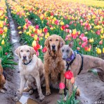 Kuiper performs a rendezvous in a tulip field with Aslan, Maple and Gumbo from Instagram's mycaninelife.