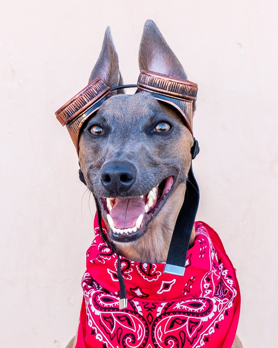 Kuiper wears a red bandana and aviator goggles, like the dog from Fallout.