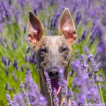 Kuiper peeks up between rows of lavender. His ears are up and he is smiling.