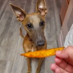 Kuiper peers expectantly at a sweet potato fry held in my hand.