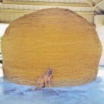Kuiper sits in front of a very large ball of twine. It is at least four times as tall as him, and six times as wide.