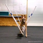 Kuiper trots through agility weave poles.