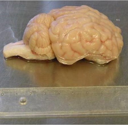 pigs_brain