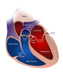 human heart cartoon