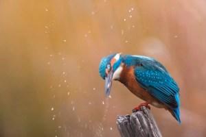 Foto di un martin pescatore, Luca Concas.