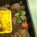 Eastern Box Turtle Rescue Update ~ Slice of Life Day 6