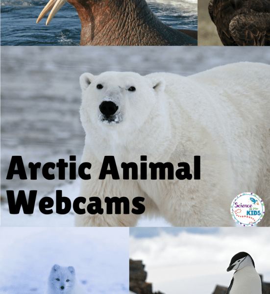 Arctic Animals Webcams and Lessons
