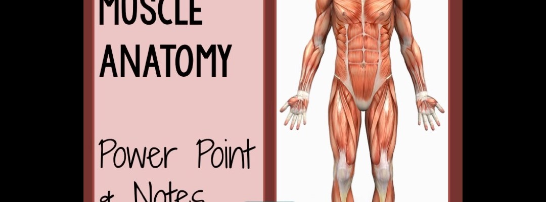 Skeletal Muscle Anatomy Powerpoint And Notes Science Island