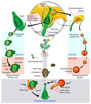 Flower Life Cycle Diagram  Pictures, Photos & Images of Plants  Science for Kids