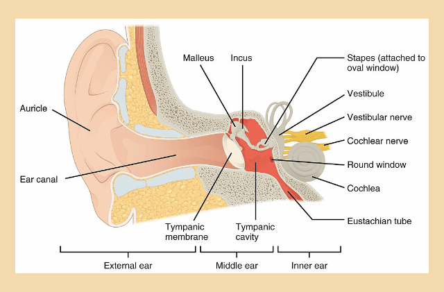 ear anatomy diagram projects why do our ears pop the science behind popping ears science lass  why do our ears pop the science behind