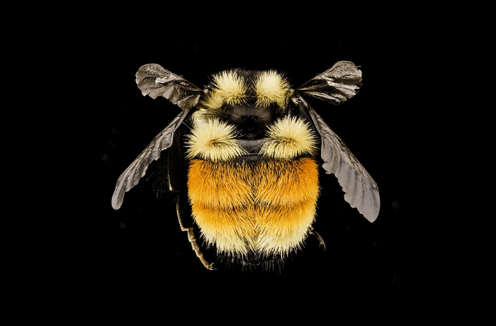 New Study Finds Surprising Level of Innovation in Bumble Bees Have We Been Denying Them The Credit They Deserve?