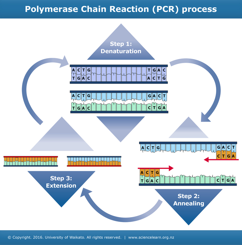 Three steps of PCR — Science Learning Hub