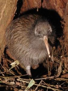NI Brown Kiwi