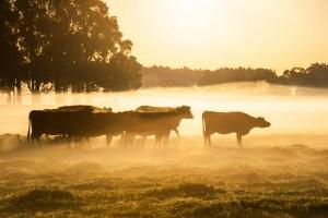 Cattle in a Golden Dawn