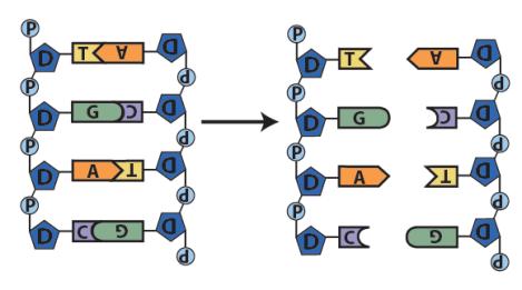 DNA Replication (AP level tutorial) – sciencemusicvideos