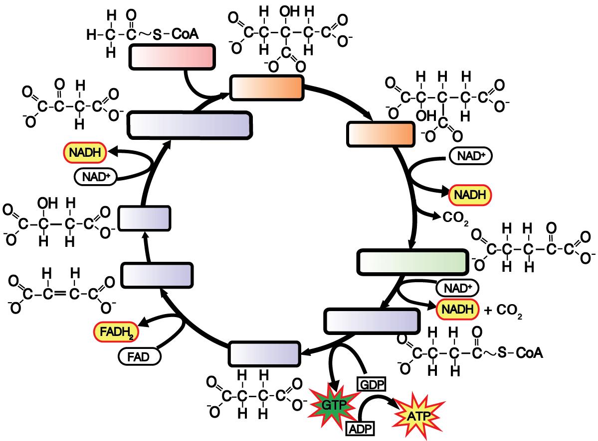 Calvin Cycle Blank Diagram