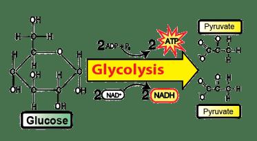 anaerobic respiration glycolysis fermentation ap tutorial produces cellular sciencemusicvideos biology bio seen ve three previous