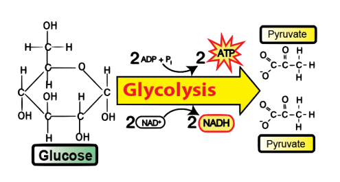 Glycolysis ap bio tutorial sciencemusicvideos 11very simplified glycolysis ccuart Gallery