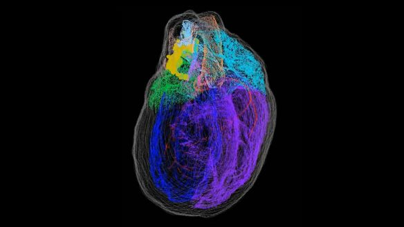Map of the heart's 'brain'