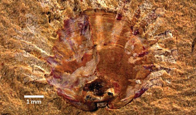 fossilized brachiopod