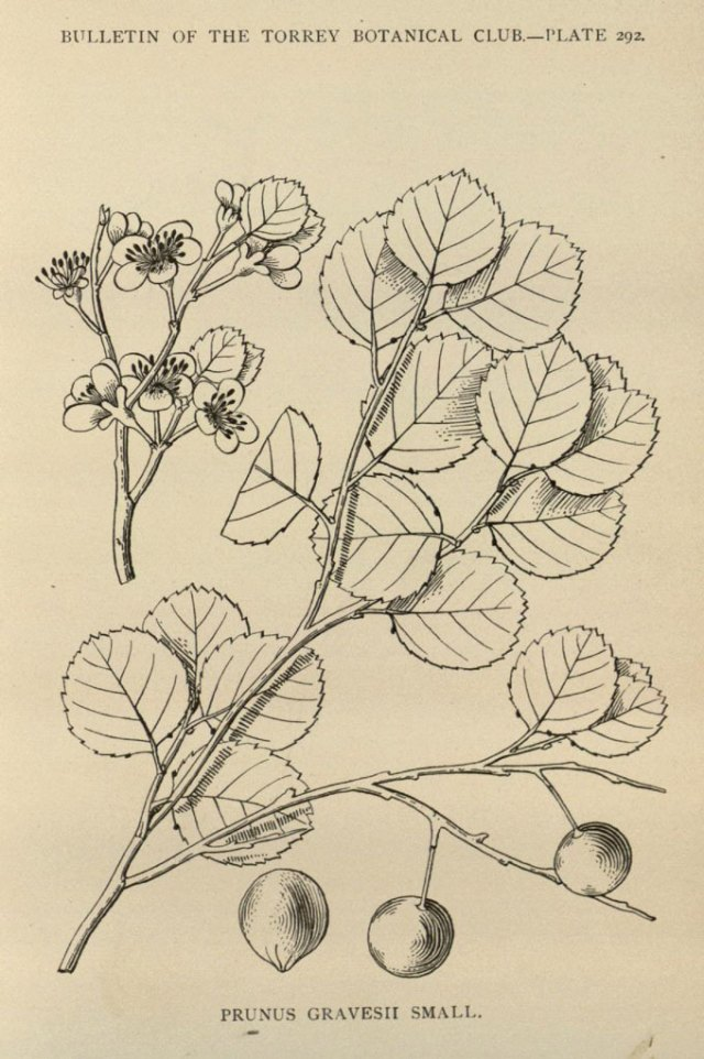 an illustration of Graves' beach plum fruit and leaves