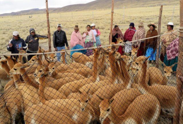 несколько человек стоят вокруг загона с дикой викуньей