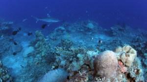 The hidden genetic diversity of corals corresponds to particular lifestyles