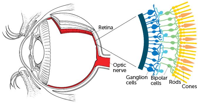 retinada detay gösteren göz diyagramı