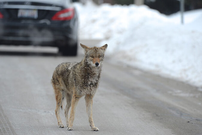 a coyote standing on a road on a cold day