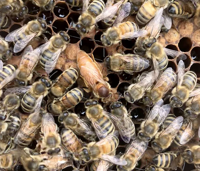 a photo of a bunch of bees on a honeycomb a larger bee (the queen) is in the middle