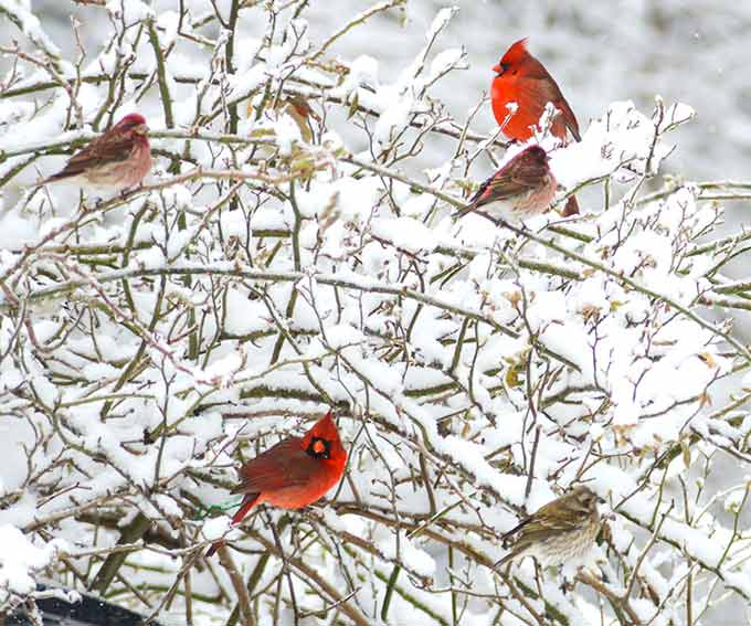 a photo of cardinals sitting on a snow-covered bush