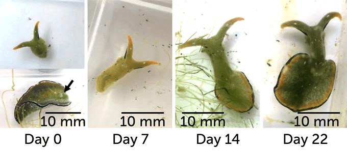 sea slug body regeneration on day 0, day 7, day 14 and day 22