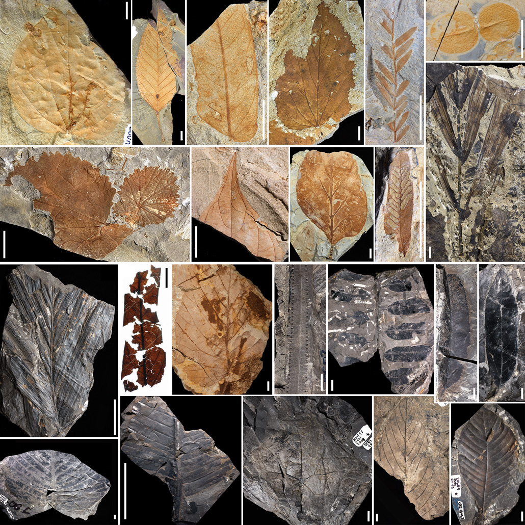 fossils of leaves and pollen
