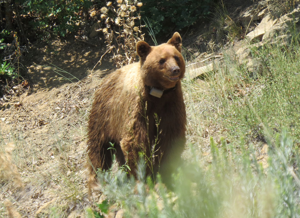 a bear with brown fur and a tracking collar
