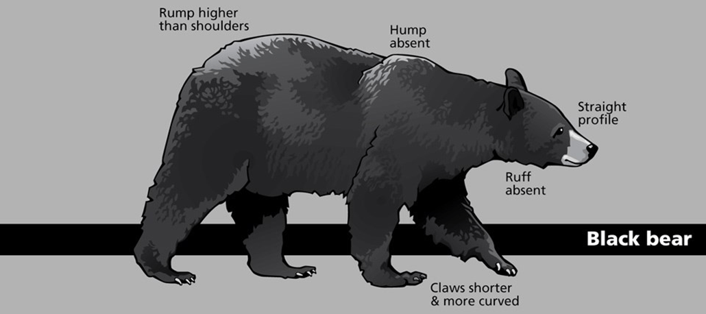 an illustration of a black bear