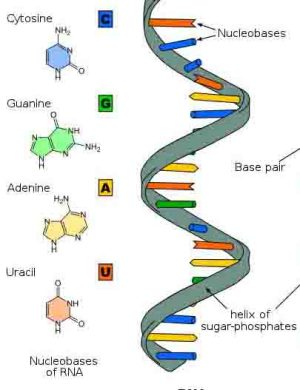 Ribonucleic Acid (RNA) Structure & Function