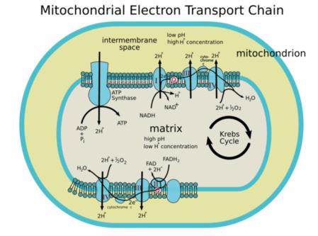Metabolism Steps Of Aerobic Cellular Respiration