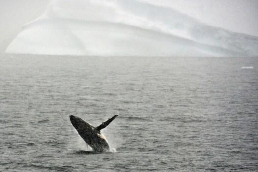 Une baleine saute hors de l'eau dans l'Antarctique le 5 mars 2016. Le Japon menace de quitter la Commission baleinière internationale, ulcéré que la CBI ait dit non au retour de la chasse. (AFP/Archives - EITAN ABRAMOVICH)