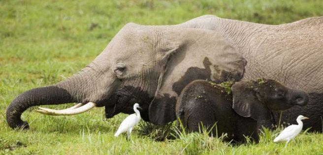 Si l'être humain n'existait pas, on retrouverait des éléphants jusqu'en Europe, selon une équipe de chercheurs danois.