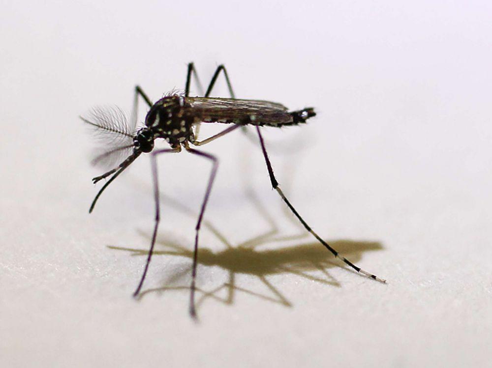 pourquoi les moustiques font un des