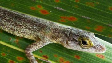L'arrivée des colons européens en Guadeloupe a décimé la population de reptiles (étude)