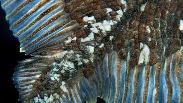 Les cœlacanthes peuvent vivre jusqu'à 100 ans