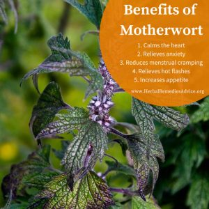 Motherwort Uses